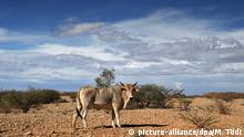 A cow standind in a sparse landscape in Namibia