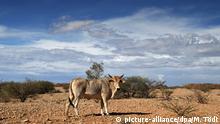 Namibia - Kuh