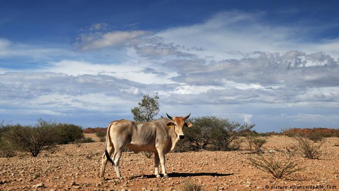A cow on Namibian farmland