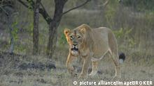 Gir-Nationalpark in Indien