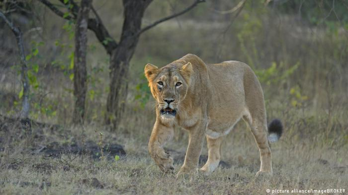 A lioness in Gir National Park