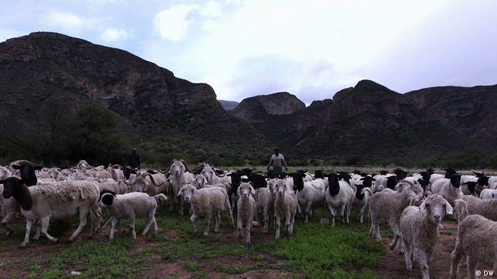 Landscape picture showing sheep against a backdrop of mountains in South Africa