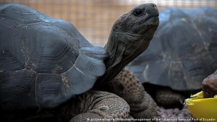 A giant tortoise on Galapagos