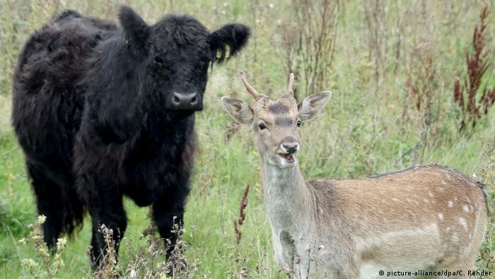 Коровье пастбище в земле Шлезвиг-Гольштейн