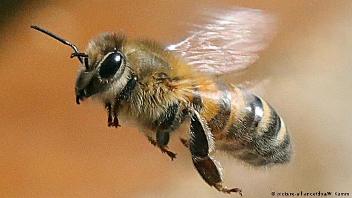 Biene oder Hummel? Hornisse, Wespe? Wer brummt denn da - und warum sind sie so wichtig?