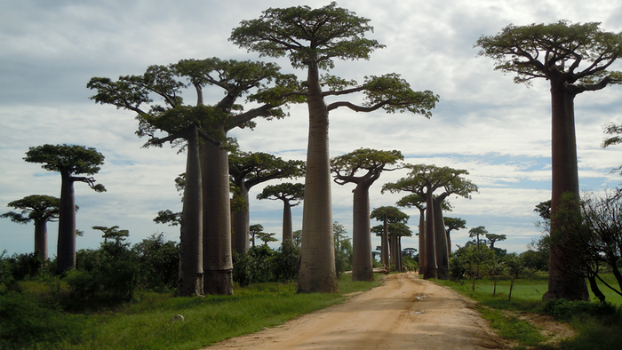 DW Global Ideas Lernpaket #2 Wald 9 (Baobabs Madagaskar)