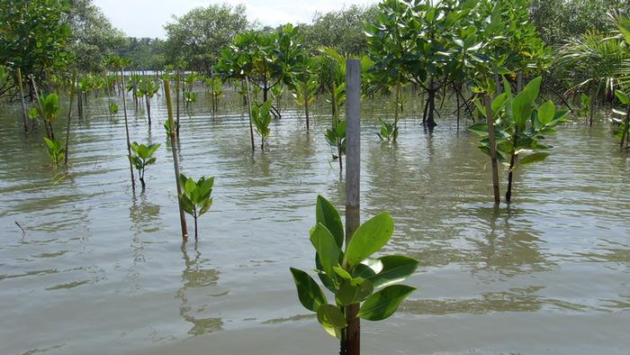 DW Global Ideas Lernpaket #2 Wald 6 (Mangrovensetzlinge, Thailand)