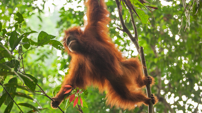 DW Global Ideas Lernpaket #2 Wald 12 (Orangutan, Indonesien)