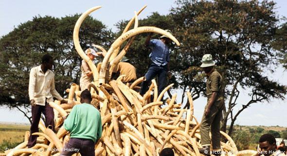 CITES: Sharks and ivory leave delegates divided