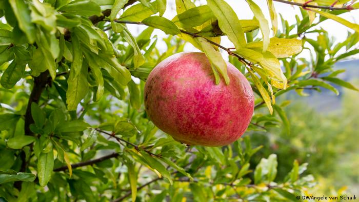 A pomegranate on a tree