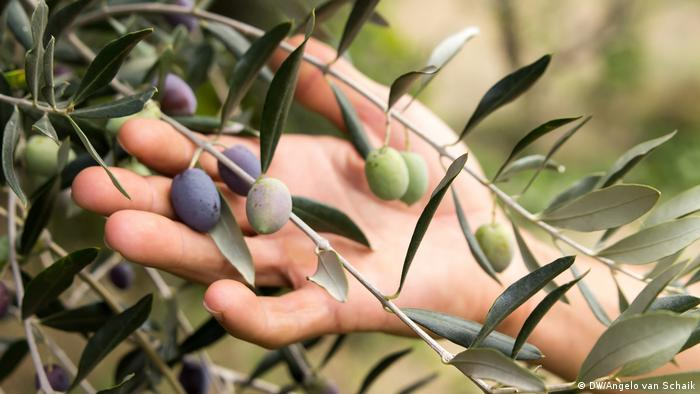 A hand holds olives on a branch