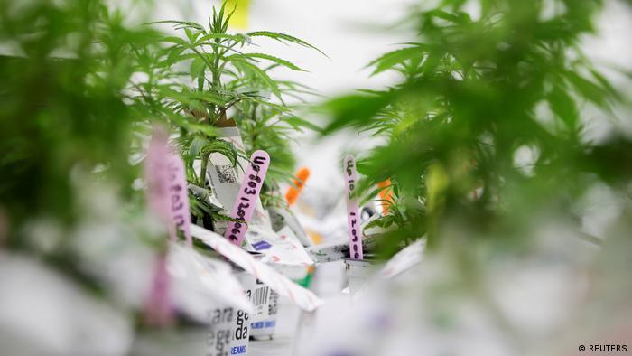 Kanada Cannabis-Produktionsprogramm am Niagara College