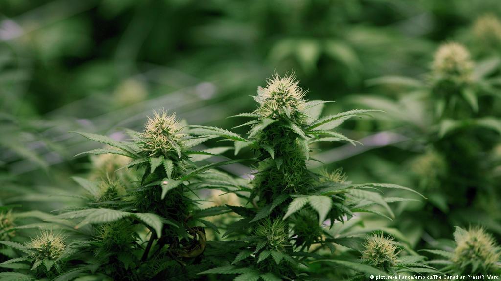 Легализация марихуаны торонто медаль выращивания конопли