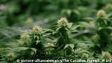 Kanada Legalisierung von Cannabis | Cannabis Pflanzen