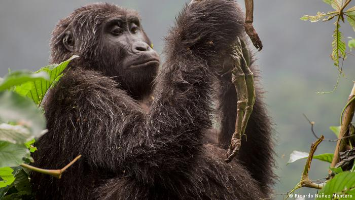 Female mountain gorilla in Uganda's Bwindi Impenetrable Forest holding her dead baby