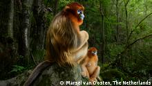 The golden couple by Marsel van Oosten, The Netherlands Grand Title Winner 2018, Animal Portraits A male Qinling golden snub - nosed monkey rests briefly on a stone seat. He has been joined by a female from his small group. Both are watching intently as an altercation takes place down the valley between the lead males of two other groups in the 50 - strong troop. It's s pring in the temperate forest of China's Qinling Mountains, the only place where these endangered monkeys live. They spend most of the day foraging in the trees, eating a mix of leaves, buds, seeds, bark and lichen, depending on the season. Though they are accustomed to researchers observing them, they are also constantly on the move, and as Marsel couldn't swing through the trees, the steep slopes and mountain gorges proved challenging. Whenever he did catch up and if the monkeys were on the ground, the li ght was seldom right. Also, the only way to show both a male's beautiful pelage and his striking blue face was to shoot at an angle from the back. That became Marsel's goal. It took many days to understand the group's dynamics and predict what might happen next, but finally his perseverance paid off with this gift of a perfect situation, with a perfect forest backdrop and perfect light filtering through the canopy. A low flash brought out the glow of the male's golden locks to complete the perfect portrait.