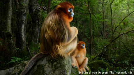A pair of golden snub-nosed monkey rests briefly on a stone seat