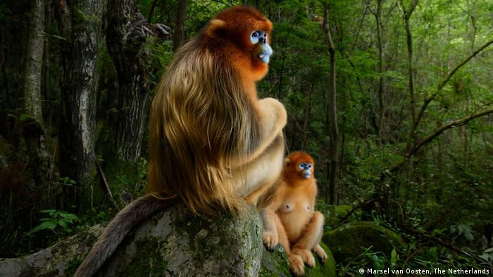 A pair of Qinling golden snub-nosed monkeys looking intently into the distance