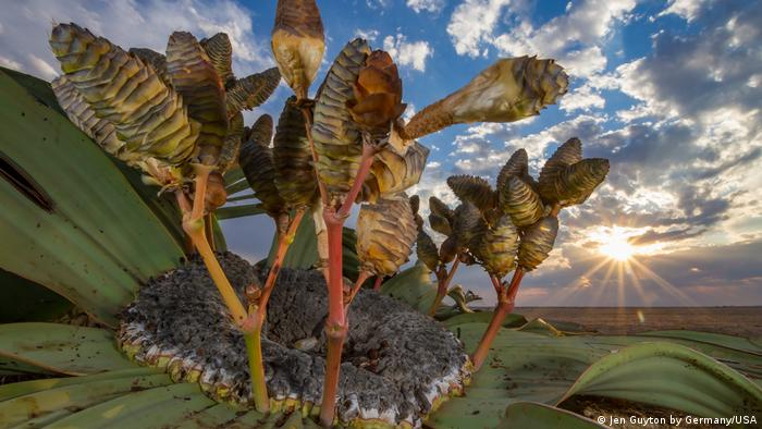 A welwitschia plant reaches for the sky over the Namib Desert