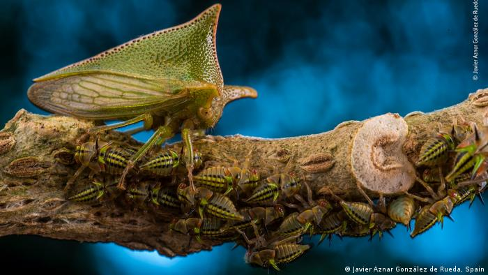 A large Alchisme treehopper guards her nymphs as they feed on a nightshade plant in El Jardin de los Suenos reserve in Ecuador