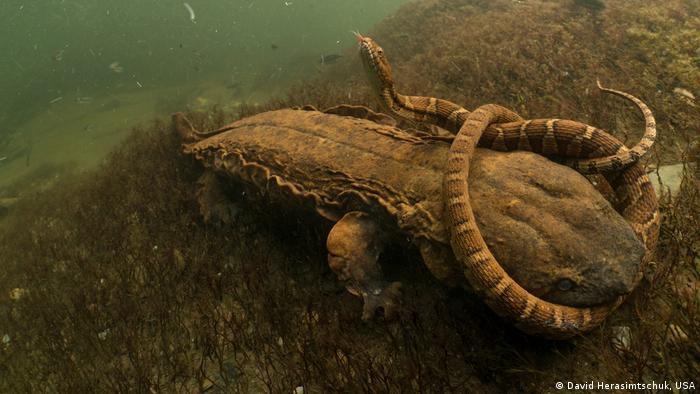 A northern water snake is clamped tightly in the jaws of this hungry hellbender in Tennessee's Tellico River
