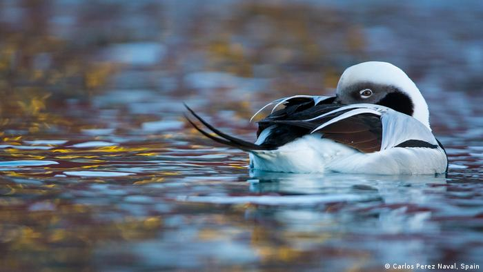 Long-tailed duck in Barents Sea in Norway