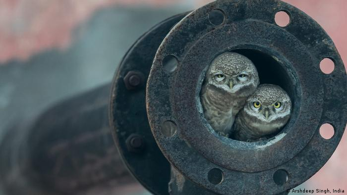 Two spotted owlets huddle together in a pipe
