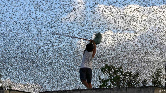 Flash-Galerie Naturkatastrophen Heuschreckenplage in Mexiko (AP)