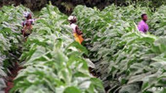 Afrika Farmarbeiter auf einer Tabakplantage Tabakernte