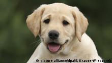 Portrait eines gelben Labrador Retriever Welpen | Verwendung weltweit, Keine Weitergabe an Wiederverkäufer.