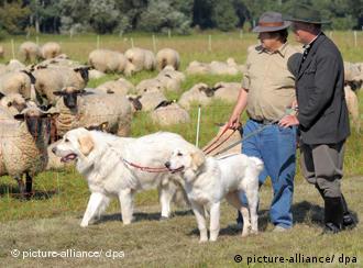 Un lobo suelto en baviera alemania dw de - Cercados para perros ...