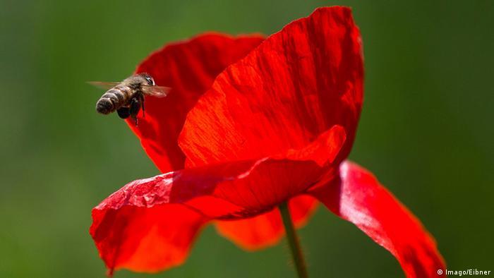 Biene fliegt auf eine Klatschmohnblühte zu (Foto: Imago/Eibner)