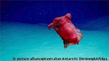 Eine rote Seegurke, die aussieht wie ein gerupftes, kopfloses Huhn schwimmt im blauen Meer vor der Küste der Antarktis