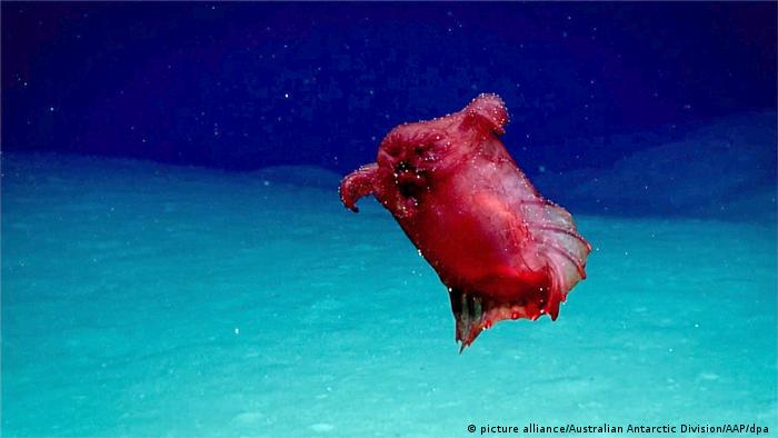 A red sea cucumber shaped like a plucked, headless chicken floats through the blue waters of the ocean near Antarctica