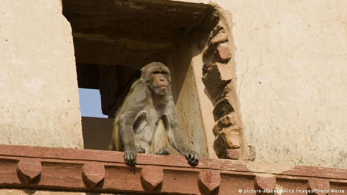 A rhesus monkey in India, looking out of a window