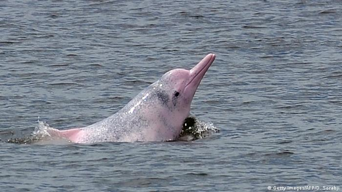 China Chinesischer Weißer Delfin in Hongkong (Getty Images/AFP/D. Sorabji)
