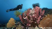 Taucher betrachtet Korallenriff mit verschiedenen Korallen, Federsternen (Crinoidea) und Rotem Röhrenschwamm (Cripbrochalina olemda), Great Barrier Reef, Pazifik, Australien, Ozeanien   Verwendung weltweit, Keine Weitergabe an Wiederverkäufer.