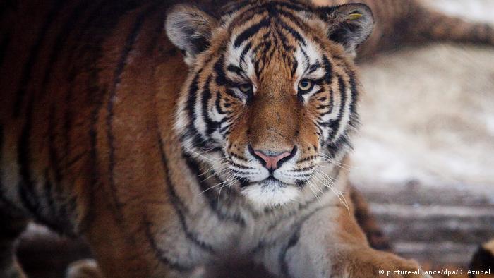 China lockert Verbot für Handel mit Nashorn- und Tigerteilen