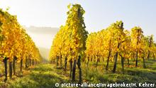 Germany Wine Route vineyard with Riesling grapes