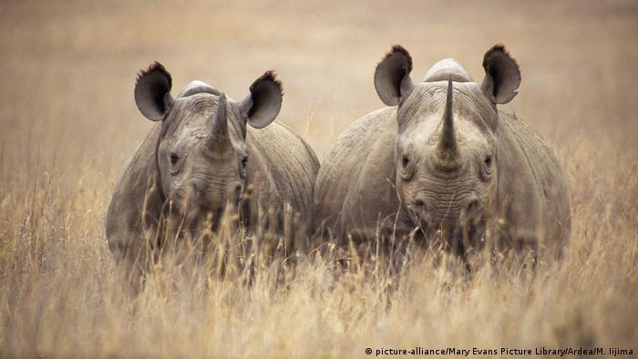 Two black rhinos peek out from the long grass (picture-alliance/Mary Evans Picture Library/Ardea/M. Iijima)
