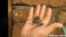 Mexiko Sargassum-Braunalgen an Küste