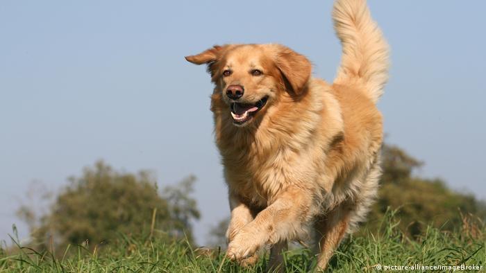 A dog runs through a meadow