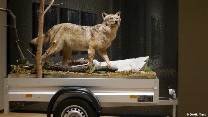 head of stuffed wolf (DW/H. Mund)