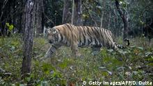 Indien   Bengali Tiger