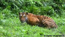 Indien | Bengali Tiger