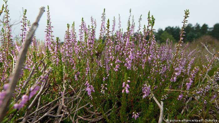 Люнебургская пустошь летом во время цветения вереска