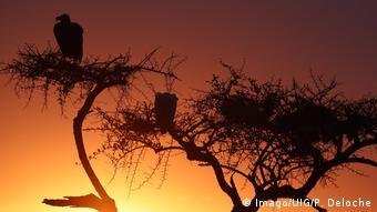 Afrikanische Geier