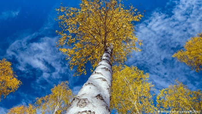 Birch trees seen looking up from the bottom (picture-alliance/dpa/P. Pleul)