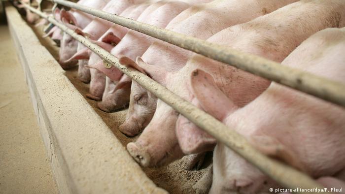Antibiotika-Resistenz durch Tierhaltung