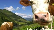 ARCHIV - 15.08.2000, Alpbach, Österreich: Eine Kuh auf einer Alm. Die anhaltende Dürre macht auch Almbauern in Österreich große Sorgen. Im Bundesland Vorarlberg können nach Einschätzung der Landwirtschaftskammer von den 30.000 Stück Alm-Vieh rund zehn Prozent nur noch mit erheblichem Aufwand versorgt werden. (zu dpa Almen bekommen Wasser mit Tankwagen - Lage für Bauern dramatisch vom 30.07.2018) Foto: Stephan Jansen/dpa +++ dpa-Bildfunk +++ | Verwendung weltweit